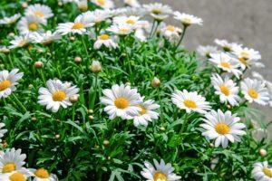 daisies-1373075