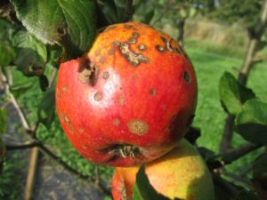 apple-455436