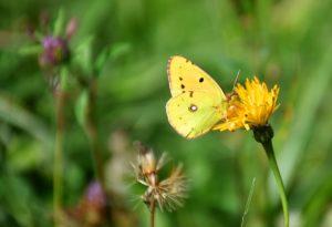 butterfly-1717300_1920